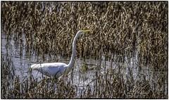 Great Egret_DSC7084 photoshop NIK SR edit © (nkatesphotography) Tags: bombayhookwildliferefuge smyrnade nikond5 tamron150600mmg2 nikonsu800 nikonsb5000speedlights birds waterfowl shorebirds wildlife nature greategret