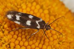 Scythris scopolella (Linnaeus, 1767) = Phalaena scopolella Linnaeus, 1767. (chug14) Tags: macro insecte nature naturephotography papillon moth animalia arthropoda hexapoda insecta lepidoptera scythritidae phalaenascopolella scythrisscopolella