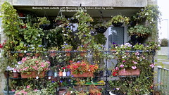 Balcony from outside with Morning Glory broken down by winds 20th September 2018 (D@viD_2.011) Tags: balcony from outside with morning glory broken down by winds 20th september 2018