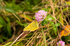 7K8A4834 (rpealit) Tags: scenery wildlife nature weldong brook management area orange sulphur butterfly