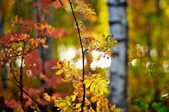Autumn delight (Stefano Rugolo) Tags: stefanorugolo pentax k5 smcpentaxm50mmf17 ricohimaging autumndelight autumn delight fall backlight bokeh impression forest trees colors foliage branches woodland wood hälsingland sverige sweden höst manualfocuslens manualfocus manual vintagelens vintageprimelens primelens pentaxprime photographywithbokeh tree