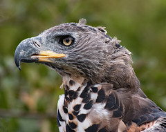Powerful head (phillipbonsai) Tags: cjbirdsofprey westmillfarm falconry stephanoaetuscoronatus africancrownedhawkeagle
