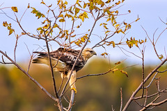 Rough Legged Hawk (Saptashaw Chakraborty) Tags: canada ontario whityby lyndeshoresconservationarea bird wildlife migration migrant migratory hawk raptor roughleggedhawk perched branch tree evening