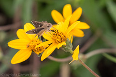 20181007-_E1A8549 (Denver Kramer) Tags: animals canon100400mmll canon7dll clearcreek denton denverkramerphotography texas skippers wildlife unitedstates us