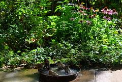 Samstagsbad (ivlys) Tags: darmstadt minigarden garten vogeltränke birdbath spatz sparrow vogel bird blume flower natur nature makro macro ivlys