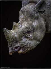 Rhinoceros (Luc V. de Zeeuw) Tags: portrait rhinoceros rotterdamzoo rotterdam zuidholland netherlands