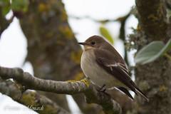 Gobemouche noir (Corinne Ménardi) Tags: passériformes oiseau passereau ficedula hypoleuca european pied flycatcher occitanie muscicapidés