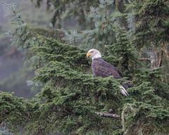 Bald Eagle (adult) (Tris Enticknap) Tags: canada britishcolumbia greatbearrainforest baldeagle haliaeetusleucocephalus