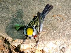 Chestnut-sided Warbler (William Young Fascinations) Tags: warblers chestnutsidedwarbler monticellopark birds fascinationofbirds