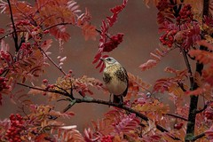 Autumn glow (A blond-Tess) Tags: fieldfare birds wildbirds ontree autumncolours autumn autumnmood autumnal autumnleaves tree outdoorphotograpy wildlife birdswildlife canonphotography björktrast