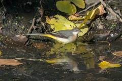 DSC_0849_Edit (Clive Webber) Tags: belgium bird bourgoyen gent greywagtail motacillacinerea motacillidae oostvlaanderen places passeriformes