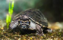 """Stinkpot"" - common musk turtle - New Jersey (superpugger) Tags: turtle musk muskturtle commonmuskturtle turtles reptile reptiles pondlife animal animals wildlife newjerseywildlife wildlifephotography turtlephotography water pond underwater stinkpot"