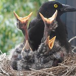 Currawong chick's eyes are open thumbnail