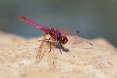 Bright red dragonfly on a rock (Ilia K.) Tags: insect red pink bright pond water dragonfly rock nature beautiful animal beauty background fly close wing wildlife green summer stone color closeup plant macro bug pattern spring outdoor isolated natural wild wings dropwing