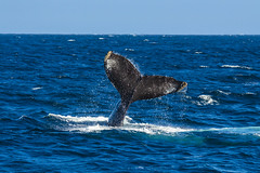 whale14Oct5-18 (divindk) Tags: anacapa anacapaisland channelislands channelislandsnationalpark humpbackwhale megapteranovaeangliae sanmiguelisland santabarbara santacruzisland santarosaisland underwater ventura blueocean cetacean diverdoug flukes marine marinemammal ocean reef sea underwaterphotography whale whaletail