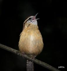 Carolina Wren (jt893x) Tags: 150600mm bird carolinawren d500 jt893x nikon nikond500 sigma sigma150600mmf563dgoshsms songbird thrythorusludovicianus wren thesunshinegroup coth alittlebeauty coth5 ngc