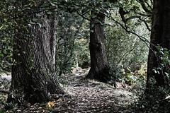 Dark woods (dwickimages) Tags: woods dark bark leaves fall autumn woodland walkway path passage winter buckinghamshire shade green yellow brown branch trunk texture