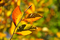 the spectacle of autumn (christiaan_25) Tags: beech leaves leaf stem color colors orange yellow green veins shadows light bokeh tree autumn fall season change nature
