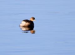 Little Grebe (2) (grahamh1651) Tags: marazion longrockpool birds waterbirds swans mountsbay grebes
