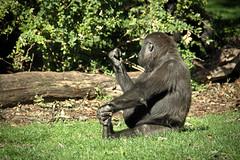 Enjoy your Meal (Johan Moerbeek) Tags: burgerszoo arnhem gelderland aap zoo lunchtime