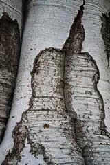 Scarred Beech (Broot Thanks for 1 million views!) Tags: mountauburncemetery october cambridge massachusetts fall autumn fagussylvatica europeanbeech beech scar pattern abstract bark