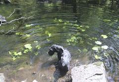 Happy Dog (olav65) Tags: water dog giantschnauzer riesenschnauzer suursnautseri schnauzer stone 7d canon rizenšnaucer river hiking nature natur norge akilles lilies