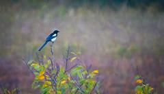 Magpie (Maurizio Scotsman De Vita) Tags: individual picapica uccelli birds gazza italia animali animals magpie perching nature appollaiato individuosingolo wildlife