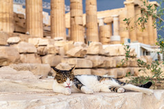 Cat in Acropolis (Wolfhowl) Tags: ancient athens fun building historic cute old medeival mountains city cityscape washing acropolis citizen kawaii trees summer ellinska attraction ruins travel nice cat hellenes columns greece 2018 europe greek landscape