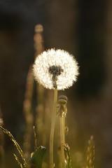 FLUFFY... (beatawozniak1968) Tags: plant natura dandelion seeds meadow macro light moment outdoor closeup sunlight flora bokeh
