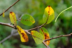 Advancing Autumn (Gene Ellison) Tags: leaves turning green yellow brown branch fallcolor