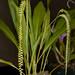 Dendrochilum magnum – Merle Robboy