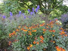 Helenium and Aconitum (wallygrom) Tags: england westsussex haywardsheath handcross nymans nymansgarden nt nationaltrust