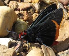 Pyrrhopyge (Birdernaturalist) Tags: bolivia butterfly hesperiidae lepidoptera pyrginae pyrrhopygini richhoyer skipper
