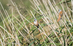 Bearded Reedlings (Ponty Birder) Tags: g b wheeler garywheeler pontybirder birds england beardedtit