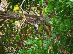 Leaden Flycatcher -  Pair (James_Preece) Tags: leadenflycatcher monarchidae m43 myiagrarubecula panasoniclumixdcgh5 leicadgvarioelmar100400mmf463asphpoweroislens flycatcher