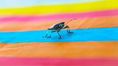 Rainbow Bug (Thomas TRENZ) Tags: farben gelb heteroptera käfer nikon tamron thomastrenz besuch blau blue bug colors glück happy iamnikon insect insekt luck lucky nikonaustria orange rainbow red regenbogen rot visit wanze withmytamron yellow