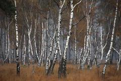 Birken I (Elbmaedchen) Tags: birkenwald duvenstedterbrook herbst malerisch nsg birch naturschutzgebiet schleswigholstein amgrenzwall