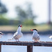Tern family