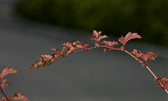 just a twig (EllaH52) Tags: twig leaf leaves autumn macro bokeh minimalism simplicity