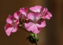Pinks (Diane Marshman) Tags: geranium flowers pink white petals spring summer fall blooms blooming garden landscape container pot plant annual blossoms closeup buds