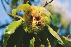 Autumn is coming (E_Yanovskiy) Tags: bretagne autumn france sweetchestnut nikkor35mmdx nikond3400