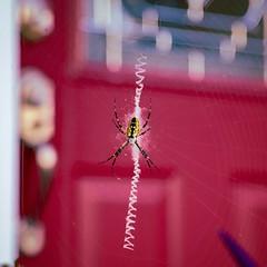 IMG_20180924_223123_744 (SherlockHolmes76) Tags: spider arachnid gardenspider web beasties