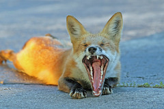 Open Wide (marylee.agnew) Tags: vulpes red fox yawn nature animal halloween teeth outdoor wildlife