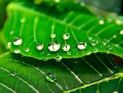 Rain (fernanmz74) Tags: rain raindrops water green natural naturaleza nikon d7200 sigma sigma1770 7dwf hmm sevilla spain andalucia