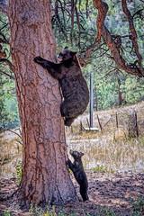 Wait for me! (Pejasar) Tags: blackbear mama cub climb estespark colorado cabin backyard vacation wait