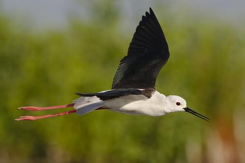 "Black-winged Stilt, Common Stilt, or Pied Stilt, Himantopus himantopus at Marievale Nature Reserve, Gauteng, South Africa. • <a style=""font-size:0.8em;"" href=""http://www.flickr.com/photos/93242958@N00/44944411954/"" target=""_blank"">View on Flickr</a>"