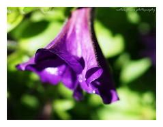 Purple and bokeh. HMM. (natureflower) Tags: garden purple bokeh green macro flower