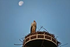 Stork (Hugo von Schreck) Tags: hugovonschreck stork storch bird vogel canoneos5dsr tamron28300mmf3563divcpzda010