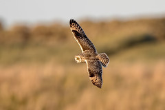 Short Eared Owl (Simon Stobart - Back But Way Behind) Tags: short eared owl asio flammeus flying north east england uk