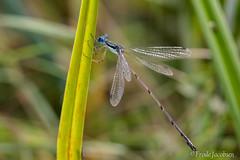 Slender Spreadwing (Lestes rectangularis) (Frode Jacobsen) Tags: canada damselfly lestesrectangularis quebec slenderspreadwing insect male frodejacobsen